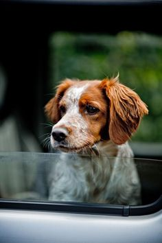 I really want a dog. Maybe a Brittany Spaniel would make a good running buddy. He's so cute!