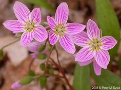 Claytonia caroliniana (Carolina Spring Beauty): Minnesota Wildflowers