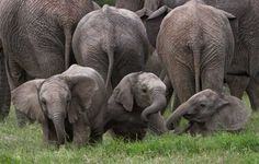 Baby Elephants at Play – Voices