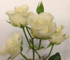 Hvit greinrose - Snow flake Google Sites, Snow Flake, Create, Flowers, Plants, Pictures, Plant, Royal Icing Flowers, Flower