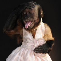 """Crystal the monkey - wearing a dress and sticking out her tongue - arrives on the red carpet for the premiere of the film, ""The Hangover Part II"", at Grauman's Chinese Theatre in Hollywood"""