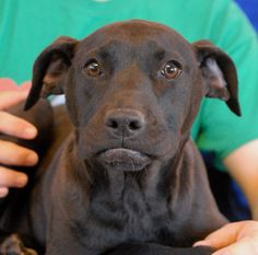 Violet cannot understand why her natural puppy behaviors -- playing, chewing, chasing, being silly -- caused her to lose her previous home.  These behaviors are all part of good development.  But being rejected is traumatic.  We are eager to place Violet in a responsible, experienced, loving forever home.  Violet is a Labrador Retriever x pup, about 4 months of age, a spayed girl, ready for adoption at Nevada SPCA (www.nevadaspca.org).  She enjoys being around other dogs.
