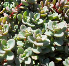 Sedum is a large genus of ornamental succulent plants diverse in form, color, and hardiness. They are useful in the garden, in containers, and the plant of choice for greenroofs. Drought Tolerant Landscape, Colorful Succulents, Planting Succulents, Cactus, Garden, Landscaping, Succulents, Garten, Cactus Plants