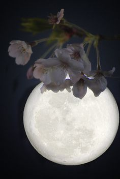 Cherry blossoms and moon.
