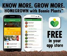 Download the Homegrown App (edamame,  2 to 3 foot, bush type plants )