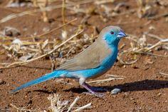 waxbill finches | Beautiful Desktop HD Wallpapers 1080p: Blue waxbill HD…