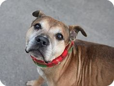 Manhattan, NY - American Pit Bull Terrier Mix. Meet Max, a dog for adoption. http://www.adoptapet.com/pet/14594756-manhattan-new-york-american-pit-bull-terrier-mix