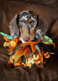 Dachshunds not mini our sale adult groundhounds
