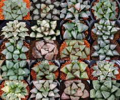 Haworthia 20 kinds of Rare Haworthia Mix Seed 10Seeds exotic succulent plant #FarmingAgriculturalAssociationCorpJIYANG