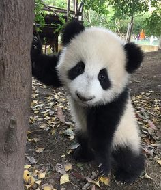 The cutest panda ever ❤️
