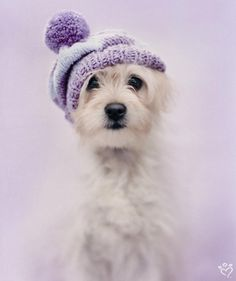 Bella the Maltese – Daily Pet Calendar for January 21, 2014 – Rachael Hale ® The world's most lovable animals