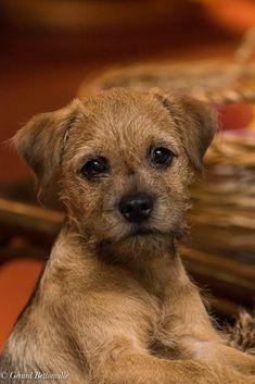 Mijn border terriër Toby 4 maanden oud. Border Terrier Puppy, Terrier Dogs, Cute Dogs Breeds, Best Dog Breeds, Cute Puppies, Dogs And Puppies, Doggies, Patterdale Terrier, Yorkshire Terrier Puppies