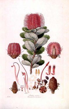 Botanical illustrator