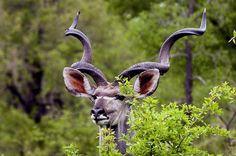 Kudu bull - by Arno & Louise - Pixdaus