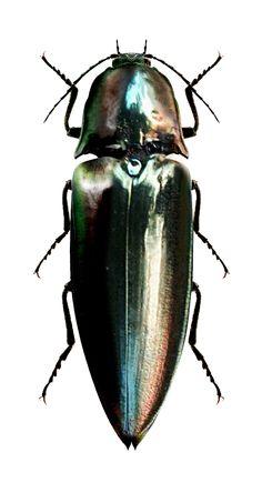 Campsosternus auratus