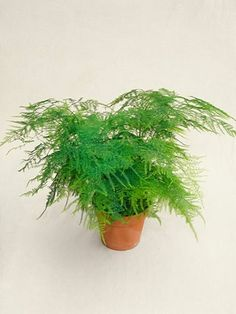 Asparagus Fern in plastic terracotta pot. Available with bespoke concrete  pot, just get in touch if you'd like one.