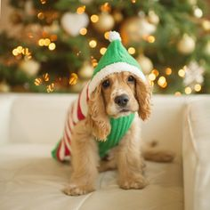 Christmas :: Cocker Spaniel