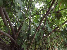 Trees of Israel - Fig Tree