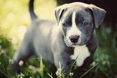 Baby pitbull