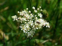 Mädesüß enthält Salicylsäure und wurde immer schon als Heilpflanze verwendet.