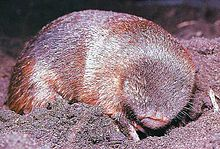 Golden moles live almost exclusively underground, beneath grass-veld, forest, swamps, deserts, or mountainous terrain. Like several other burrowing mammals with similar habits, they have short legs with powerful digging claws, very dense fur that repels dirt and moisture, and toughened skin. Their eyes are non-functional and covered with skin and fur, the ears are just tiny openings, and, like the marsupial moles, they have an enlarged leather-like pad to protect their nostrils. Taupe…