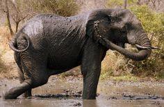 Elephant throwing mud