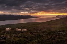 Fotografia Icelandic Sheep de Mario Ciperle na Mario, Iceland, Sheep, Mountains, Sunset, Travel, Paisajes, Nature, Fotografia
