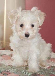 Maltipoo A Has Full Blood Maltese Parent As Well Pictures Chien Maltipoo, Maltipoo Dog, Maltese Dogs, Teacup Maltese, Teacup Maltipoo, Teacup Puppies, Puppies And Kitties, Cute Puppies, Doggies