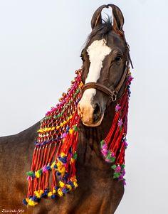 colt SULTAN Owner: HukamGarh Stud, India ©Galina Baslyk / Zimina-foto Marwari Horses, Horse Costumes, Akhal Teke, Horse Love, Horse Breeds, Horse Tack, Dressage, Beautiful Horses, Equestrian