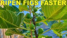 Grow Fig Trees That RIPEN FIGS FASTER With Three Simple Tricks - YouTube Pruning Fruit Trees, Tree Pruning, Figs Not Ripening, Growing Fig Trees, Fig Varieties, Grafting Plants, Soil Improvement, Tree Care, Grow Organic