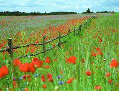 Poppies, Polands Flower