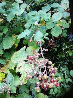 Blackberries growing wild