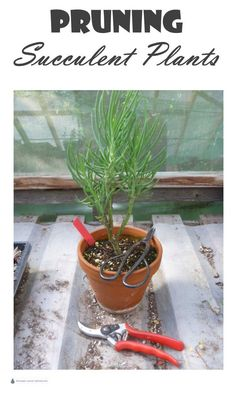 Indoor Container Gardening Pruning Succulent Plants - tips from a Certified Horticulturist.