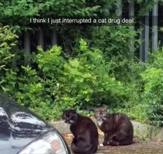 Pretty sure I saw two cats doing a drug deal today. - Real Funny has the best funny pictures and videos in the Universe! Funny Animal Photos, Cute Funny Animals, Animal Memes, Funny Cute, Funny Images, Funny Dogs, Cute Cats, Funny Pictures, Hilarious