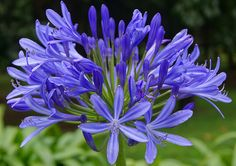 Purple Agapanthus flowers in Colombia
