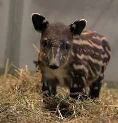 Tapirs were one of my favorite animals as a kid and this one looks so sweet!