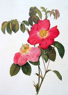 Redoute Roses Print