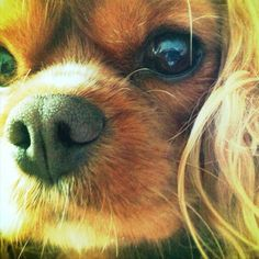 Up close and personal with a sweet Ruby Cavalier King Charles Spaniel