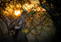 A young male nyala feeds during a beautiful South african Sunset in the Kruger National Park. I've always loved Natural light, but this image really got me thinking about using the sun in my composition. Ever since taking this snap there has been a strong influence on natural light in each and Every image I take. Timing, positioning and planning my schedule around the sun are some of the things I have learnt about photography by analyzing this one image.