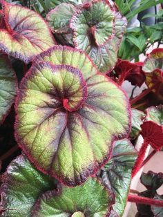 Beautiful Flowers Garden, Rare Flowers, Amazing Flowers, Crotons Plants, Foliage Plants, Unusual Plants, Cool Plants, Begonia, Gothic Garden