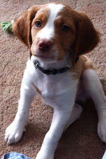 Baby Brittany Puppy!!