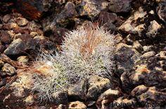 Discocactus zehntnerii spp horstiorum