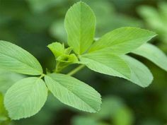 Benefit, Herbalism, Plant Leaves, Healthy, Plants, Herbal Medicine, Plant, Health, Planets