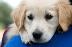 Pet friendly holidays are more popular than ever! The RSPCA and Assistance Dogs Australia share their expert advice on how to successfully travel with pets. Puppies For Sale Australia, Toy Puppies For Sale, Baby Animals, Cute Animals, Pet Friendly Holidays, Puppy Images, Puppy Training Tips, Beagle Puppy, Pet Travel