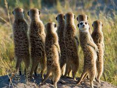 The meerkat or suricate (Suricata suricatta) is a small carnivoran belonging to the mongoose family (Herpestidae). It is the only member of the genus Suricata. Carnivorous Animals, Funny Car Memes, Big Animals, Brown Bear, Big Cats, Beautiful Creatures, Mammals, Safari, To Go