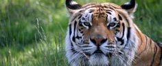 Titan, a resident from The Wildcat Sanctuary. Keep the wild in your heart, not in your home!