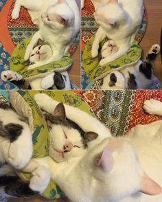 おこちゃんの腕にムギュッと抱かれて幸せだ寝ハッチャン #八おこめ #ねこ部 #cat #ねこ by naomiuno