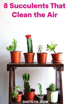 8 Succulents That Clean the Air How To Water Succulents, Tall Succulents, Succulents Garden, Growing Plants Indoors, Cactus Decor, Plant Decor, Indoor Plant Pots, Low Maintenance Plants, Natural Living