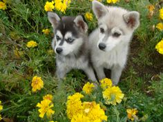 """Check out our website for even more details on """"Siberian husky dogs"""". It is actually an exceptional area to read more. Check out our website for even more details on Siberian husky dogs. It is actually an exceptional area to read more. Alaskan Klee Kai, Alaskan Husky, Siberian Husky Dog, Husky Breeds, Most Beautiful Dogs, Dog Activities, Dog Travel, Working Dogs, Dog Photos"""
