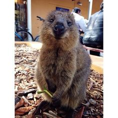 """""""Oh sorry I ate all this leaf myself.""""   23 Adorable Quokkas That Will Instantly Make Your Day Better"""